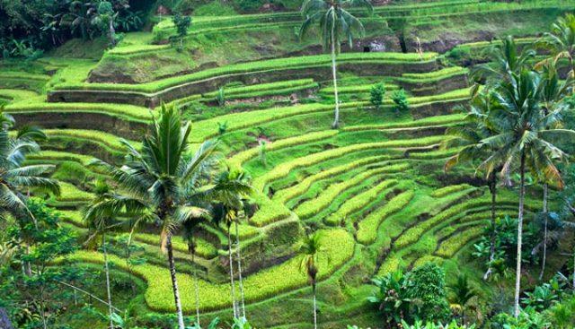 Daerah persawahan dengan teknik terasering di objek wisata Ubud